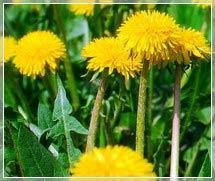 Съедобные травы