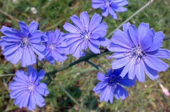 Польза цикория: чудо-свойства скромного растения