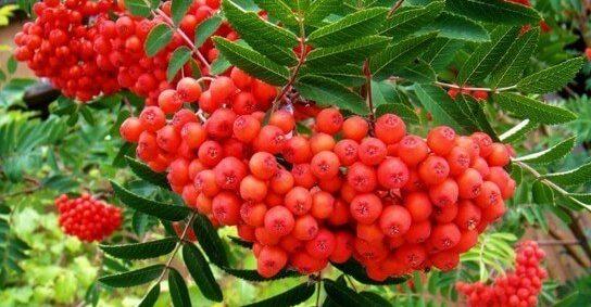 Рябина красная полезные свойства и противопоказания