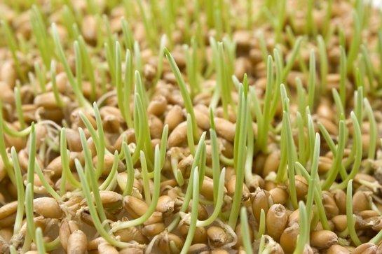 масло зародышей пшеницы применение для лица
