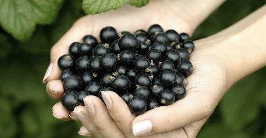 черная смородина полезные свойства и противопоказания
