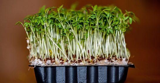 кресс салат польза и вред