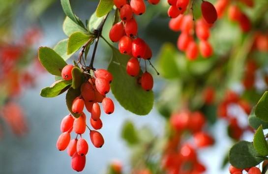 Барбарис: полезные свойства и противопоказания