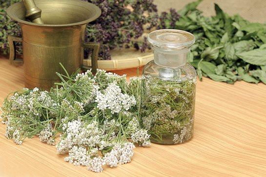 Тысячелистник - полезные свойства и противопоказания волшебной травы, как заваривать и употреблять