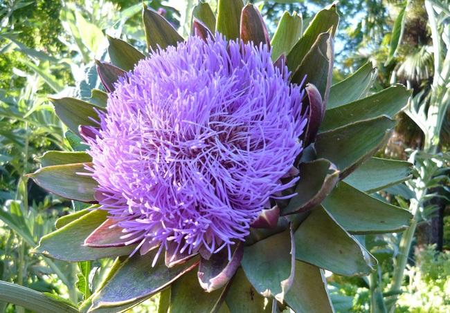 Артишок - удивительные полезные свойства и противопоказания растения, применение в лечебных целях