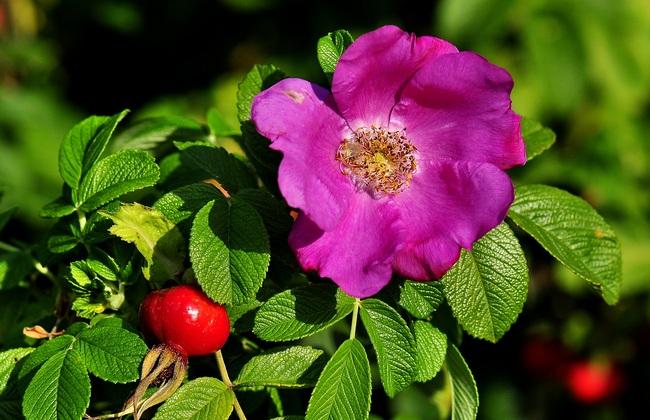 Шиповник – чем полезен чудесный плод и кому обязательно нужно его употреблять